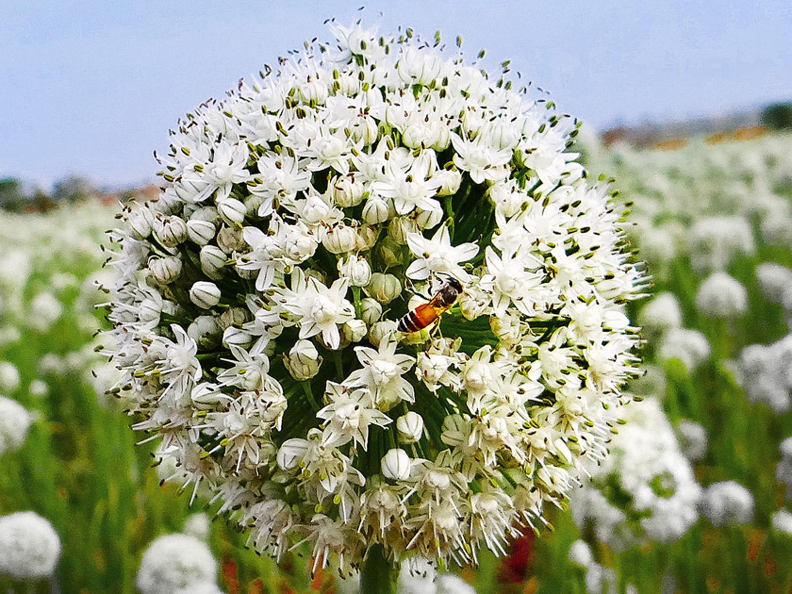 Cipolle in fiore e api